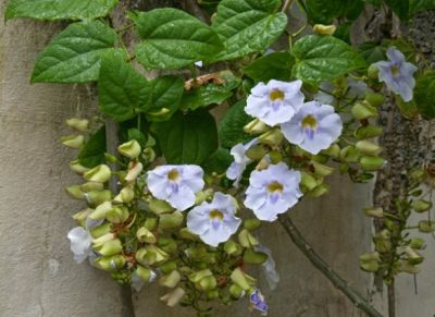 Thunbergia infloreste pana in octombrie