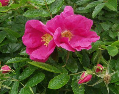 Trandafiri salbatici pentru gradini iesite din tipar