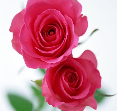 Cultivarea trandafirului pentru dulceata (Rosa Damascena)
