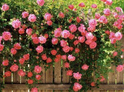 Cultivarea trandafirilor cataratori