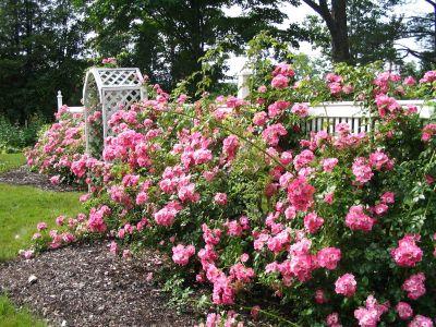 Pamantul si apa, elemente importante in cultivarea trandafirului