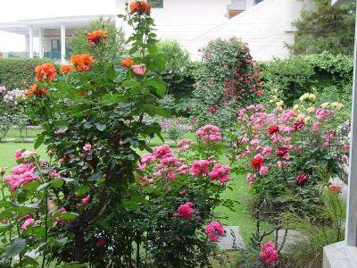 Trandafirii de gradina