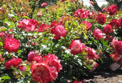 Tot ce trebuie sa stii despre trandafirii potriviti pentru gradina ta