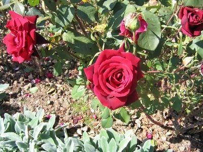 Ghid de ingrijire a trandafirilor de gradina