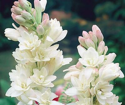 Flori pentru un inceput de toamna parfumat: tuberozele