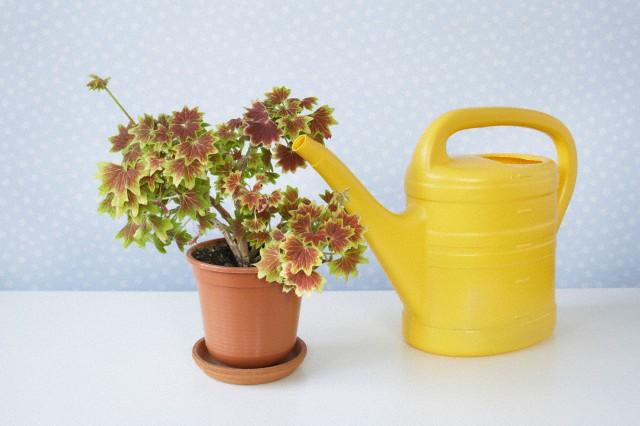 5 reguli pentru udarea corecta a plantelor din ghiveci