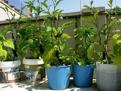 Vinetele se pot cultiva si in ghivece