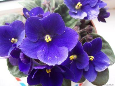 Inmultirea prin seminte a violetei africane