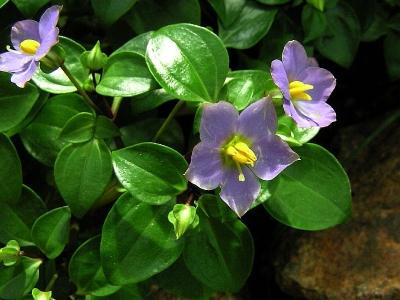 Violeta persana