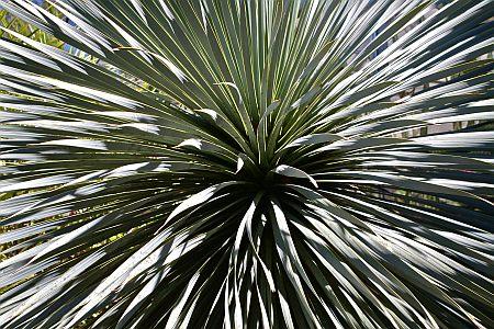 Yucca, leacul amerindian