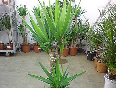 Taierile la planta yucca